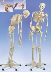 Flexible Skeleton Model Fred, on 5 feet roller stand (1 hand and 1 foot flexible)