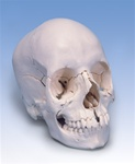 Beauchene Adult Human Skull – Anatomical Version, 22 part