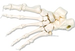 Loose Foot Skeleton, left