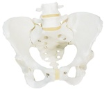 Female Pelvis model, pelvic skeleton model