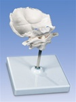 Atlas and axis cervical model, with occipital plate (stand included)
