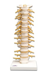 Thoracic Spinal Column