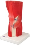 Muscles Knee Joint Model, 12 part