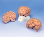 Introductory Brain Model, 2 part