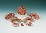 Brain Model with Arteries, 9 part