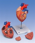 Heart Anatomy, 2-times life size, 4 part model