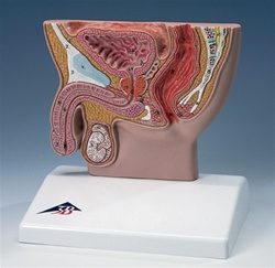 Male Pelvis Section Model, 1/2 Life Size