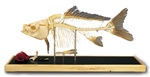 Fish skeleton model - Carp (Cyprinus carpio)