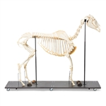 Anatomical Horse Skeleton Model (Equus caballus)
