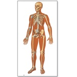 The Human Skeleton Chart, front 84x200cm (w/o wooden rods)