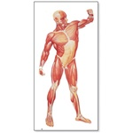 The Human Musculature Chart, front