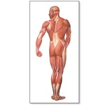 The Human Musculature Chart, rear