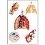 Respiratory Organs Chart