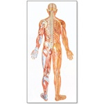 Nervous System Chart, Front View