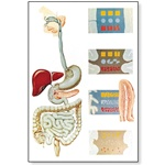 The Digestive System Chart