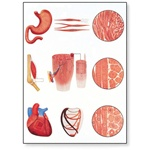Muscle Tissue Chart
