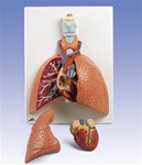 Lung Model with larynx, 5 part