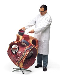 Giant Anatomy Heart Model, 8 times life size model