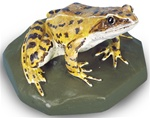 Common Frog Replica, female (Rana temporaria)