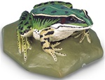 Edible Frog Replica, female (Rana esculenta)