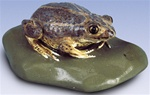 Common Spadefoot Toad Replica, female (Pelobates fuscus)