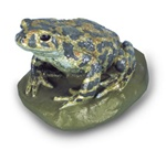 Green Toad Replica, female (Bufo viridis)