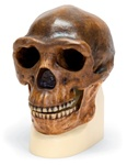 Anthropological skull � Sinanthropus