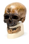 Anthropological skull � Cr�-Magnon