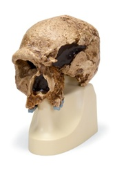 Anthropological skull � Steinheim
