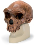 Anthropological skull � Broken Hill or Kabwe