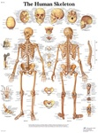 Human Skeleton - Anatomical Chart