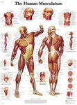 Human Musculature Anatomical STICKYchart