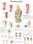 The Knee Joint - Anatomical Chart