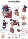 Human Heart - Anatomical Chart