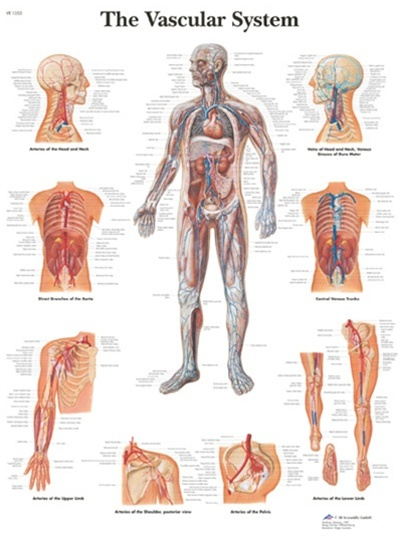 The Vascular System Anatomical Chart Anatomy Poster