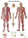 Nervous System Anatomical STICKYchart