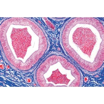 Human anatomy histology