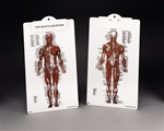 The Muscular System Clipboard