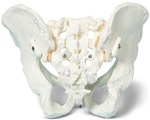 Bungee Pelvis Skeleton Model (Made in USA)