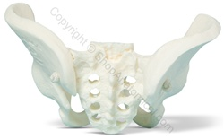 Miniature Pelvis Skeleton Model (Made in USA)