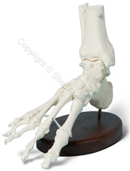 Basic Foot Skeleton Model (Made in USA)