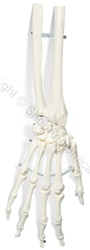 Basic Hand Skeleton Model (Made in USA)