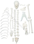 Premium Half-Disarticulated Skeleton Model (Made in USA)