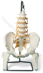 Basic Lumbar/Pelvic Skeleton Model (Made in USA)