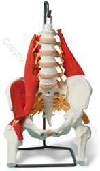Muscled Lumbar/Pelvic Skeleton Model (Made in USA)