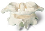 Card/Pen Holder Oversized Atlas-Axis Cervical Vertebrae (Made in USA)