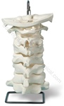 Oversize Cervical Spine Model (Made in USA)