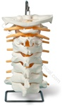 Oversize Cervical Spine Model w/Spinal Nerves (Made in USA)