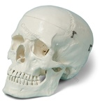 Premium Human Skull Model (Made in USA)