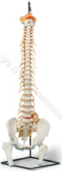 Deluxe Flexible Spine Model (Made in USA)